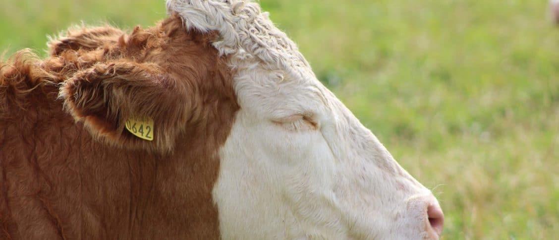 Cow Jokes Puns Image